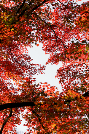 A red colored Japanese maple leaf frame seen from inside the autumn forest