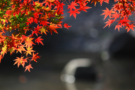 A view of a Japanese garden with reddish maple leaves and a pond
