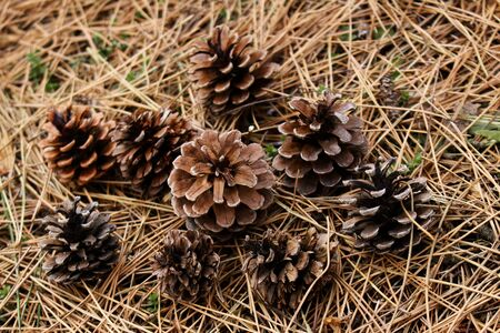 Withered pine needles and pine cone in winter Stockfoto