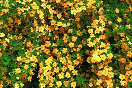 Japanese globeflower blooming in the spring garden Stockfoto - 131870268