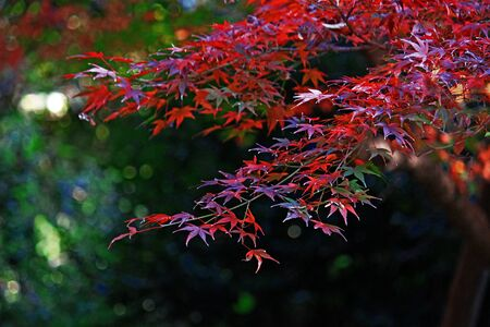 Japanese maple scene that turned red in autumn