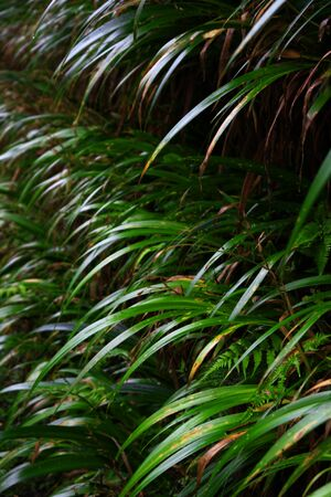 A hedge of the Japanese endemic reed hakonechloa macra