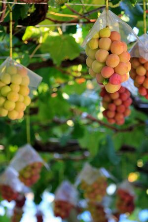 Japanese autumn vineyard landscape with big ripe red grapes