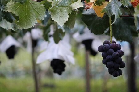 Quiet morning vineyard landscape with large ripe grapes