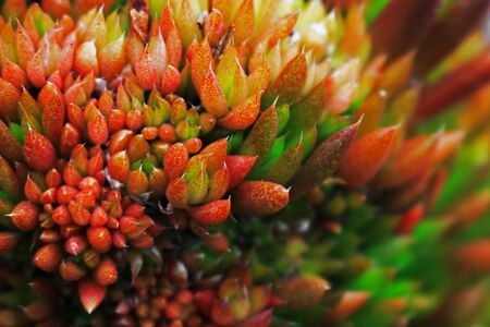 A close up photo of a glamorous and sexy succulent plant Sedum