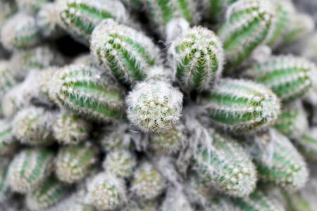 Cactus where small branches gather Stockfoto