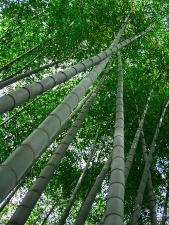 Landscape of Japanese bamboo grove garden