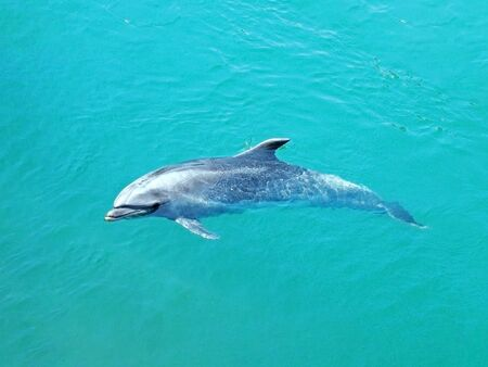 A dolphin swimming in a tropical emerald green sea
