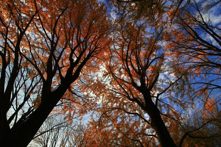 A photo looking up from below at an autumn forest that turned red at sunset