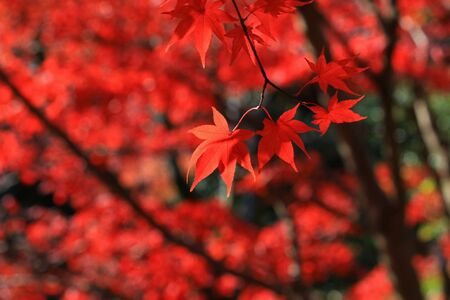 Closeup photo of a Japanese maple with red autumn leaves