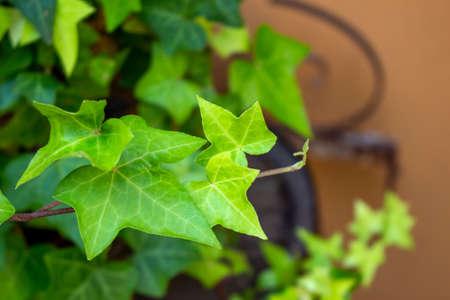 New green ivy leaf close up photo