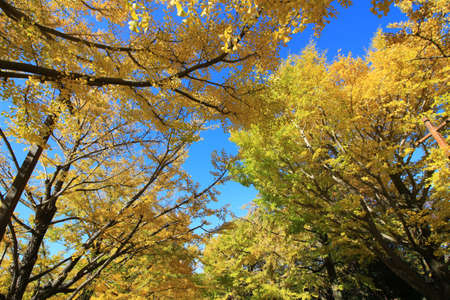 A tree lined avenue of ginkgo trees with yellow leaves