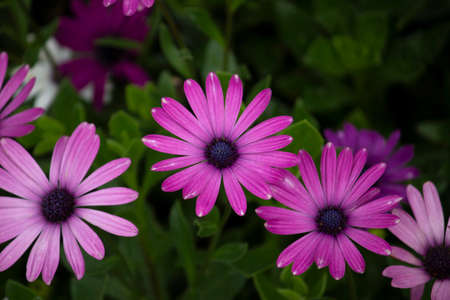 Brightly colored African daisy flowers