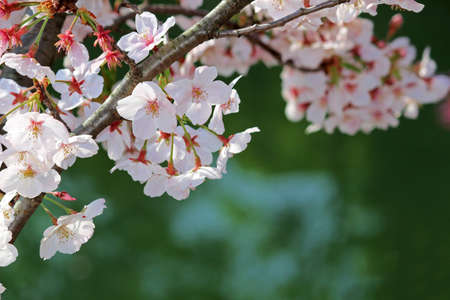 Close up photo of cherry blossoms in full bloom