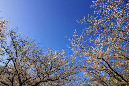 Clear blue sky and cherry blossoms