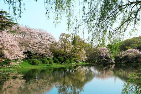 Mitsuike Park in Tsurumi, Yokohama during the cherry blossom season