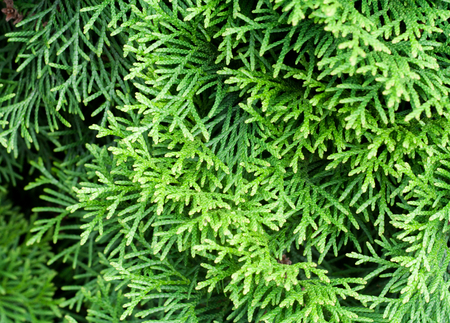 hedging: Green thuja background Stock Photo