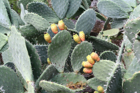 opuntia: Prickly pear cactus (Opuntia) with sweet orange fruits.