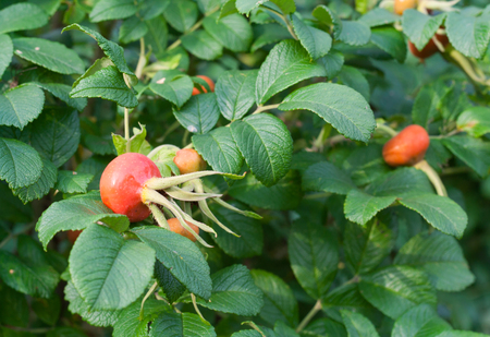 briar bush: Briar leaves and cankerberries on bush. Green bush in summer garden