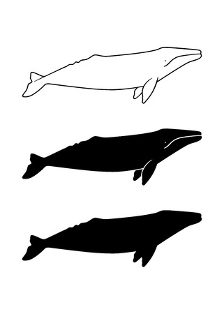 gray whale: Silhouette of gray whale. Vector illustration isolated on white background