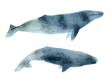 gray whale: Watercolor sketch of gray whale. Illustration isolated on white background.