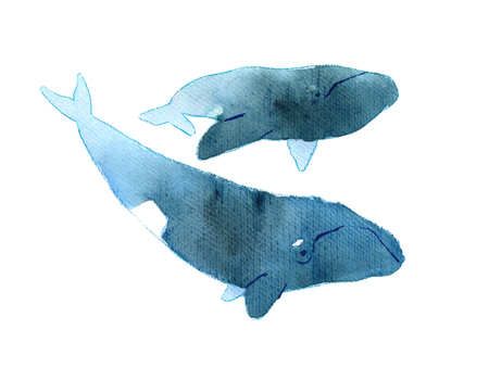 australis: Watercolor sketch of right whale. Illustration isolated on white background