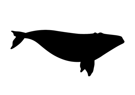 australis: Vector illustration of a right whale isolated on white Illustration