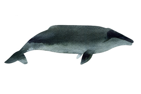gray whale: Watercolor sketch of gray whale. Illustration isolated on white background