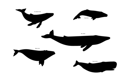 gray whale: Set of whale species icons. Vector illustration isolated on white background