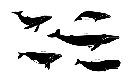 Set of whale species icons. Vector illustration isolated on white background