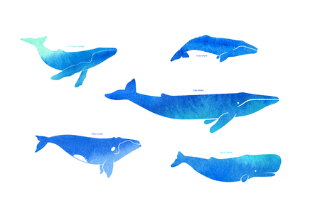 gray whale: Wale species on white background, watercolor illustration. Whale poster Stock Photo