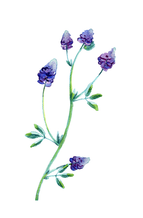Alfalfa, Medicago sativa, lucerne. Hand drawn watercolor illustration of alfalfa plant with flowers isolated on white background.