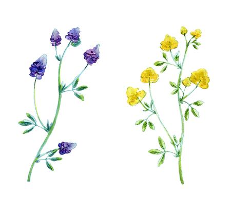 Erba medica, Medicago sativa, erba medica. Illustrazione disegnata a mano dell'acquerello della pianta di erba medica con i fiori isolati su priorità bassa bianca.