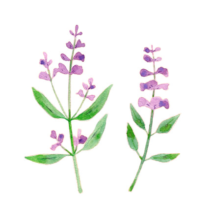 Sage flower illustration. Watercolor hand drawn bunch of flowering sage. Isolated herbs on white background
