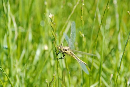 libel: Dragonfly close up Stock Photo