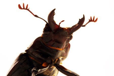 Beetle jaws Stock Photo