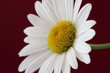 dicot: Blooming Daisy