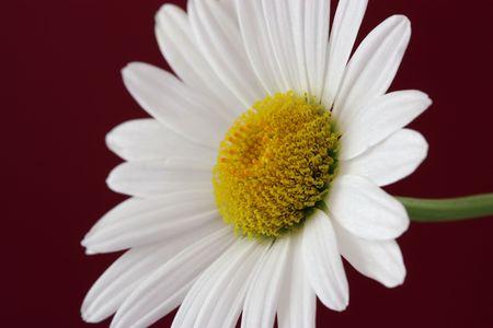 Blooming Daisy photo