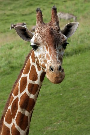 Giraffe Stock Photo - 5590715