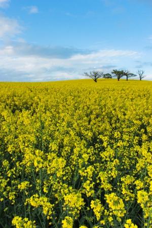 oilseed: Trees in oilseed rape field