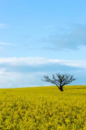 oilseed: Lone tree in oilseed rape field