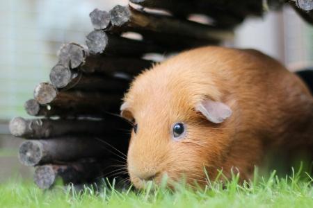 Pet Guinea Pig in garden Stock Photo