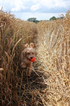 Dog with orange ball running through corn field