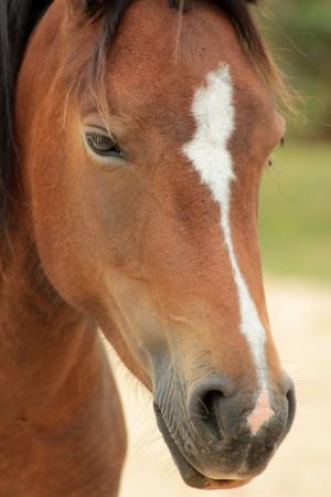Bay New Forest pony