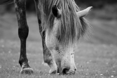 Grey New Forest pony Stock Photo