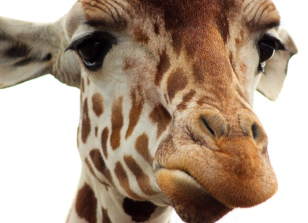 The face of a Giraffe