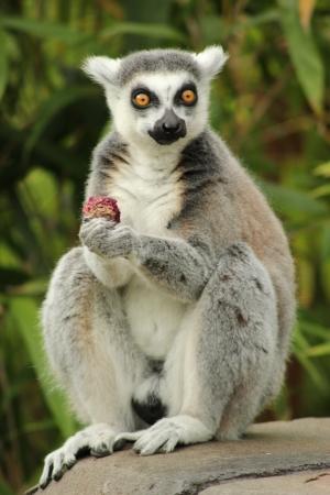 Ring Tailed Lemur holding fruit