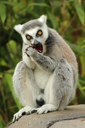 Ring Tailed Lemur eating fruit Stock Photo