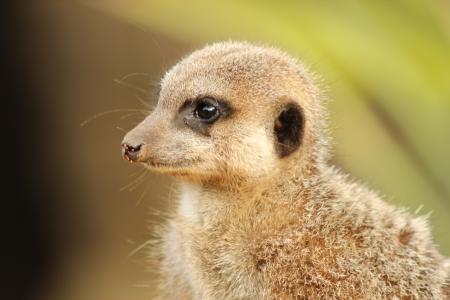 Young meerkat in sunshine Stock Photo