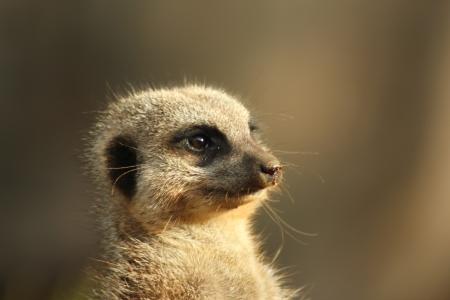 Meerkat facing the sun